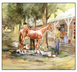 Triple Crown Winner 1978 Affirmed being washed down afte a workout